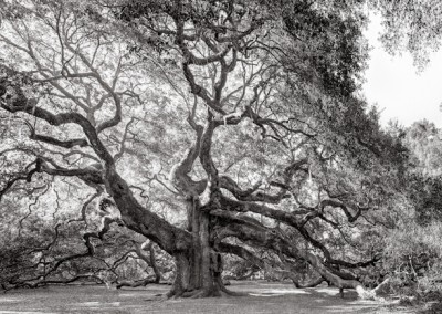 Angel Oak Tree BW