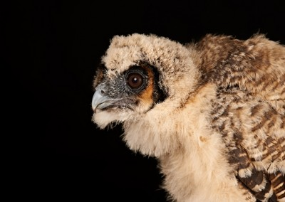 Asian-Brown-Wood-Owl-Chick-2