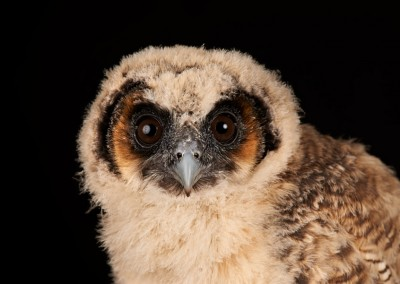 Asian Brown Wood Owl Chick