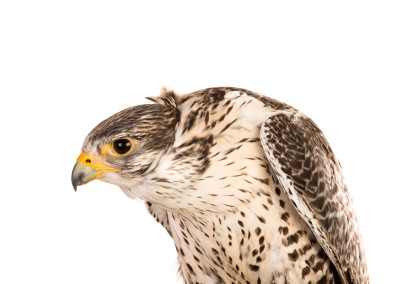 Bird of Prey Portraits 2