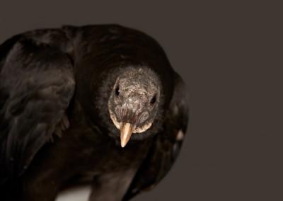 Black-Vulture-2