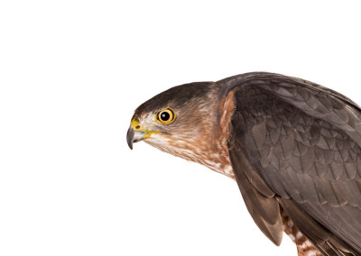 Coopers Hawk Portrait