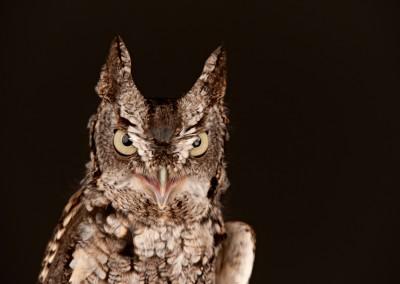 Eastern-Screech-Owl-2