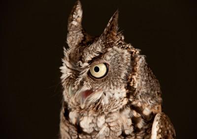 Eastern-Screech-Owl-3