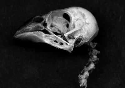 English Sparrow Skull