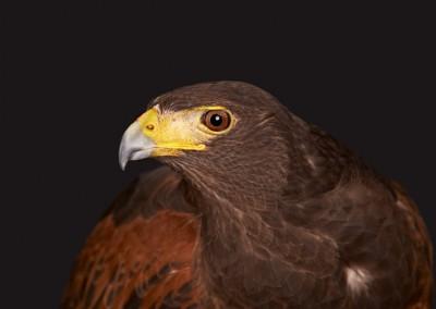 Harris-Hawk-2