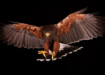 Harris-Hawk-Flying