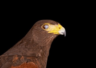 Harris-Hawk-Nictitating-Membrane