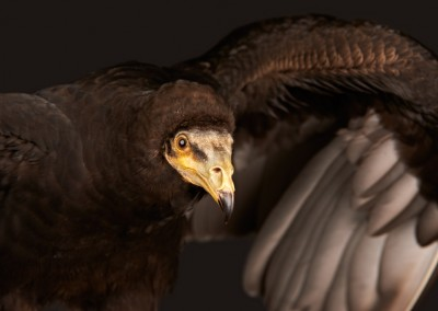 Lesser-Yellow-headed-Vulture-2