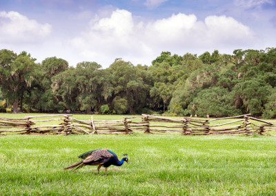 Magnolia Plantation Peacock