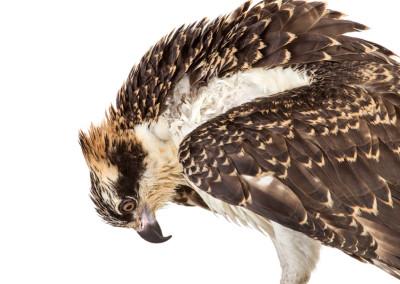 Osprey Portrait 1