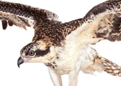Osprey Portrait 2