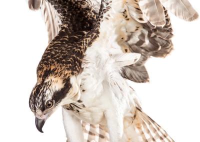 Osprey Portrait 3