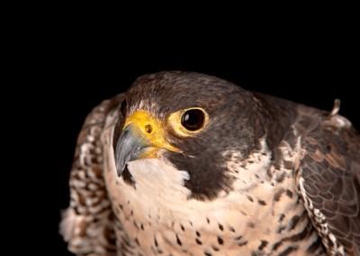 Peregrine-Falcon-22