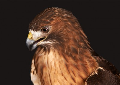 Red-Tailed-Hawk-3