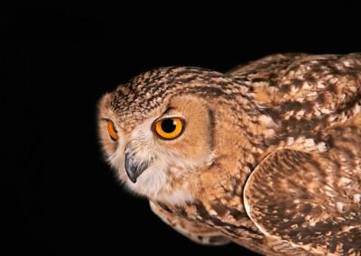 Savignys-Owl-2