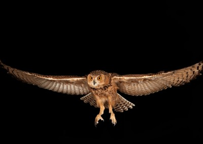 Savignys-Owl-Flying