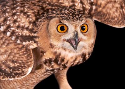 Savignys-Owl