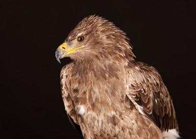 Tawny-Eagle-2
