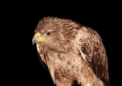 Tawny-Eagle-3