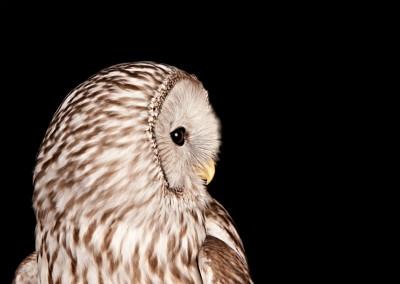 Ural-Owl-2