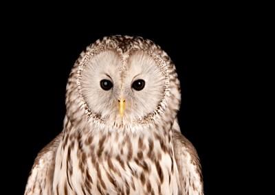 Ural-Owl-3
