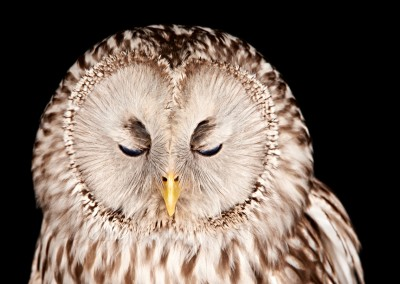 Ural-Owl-4