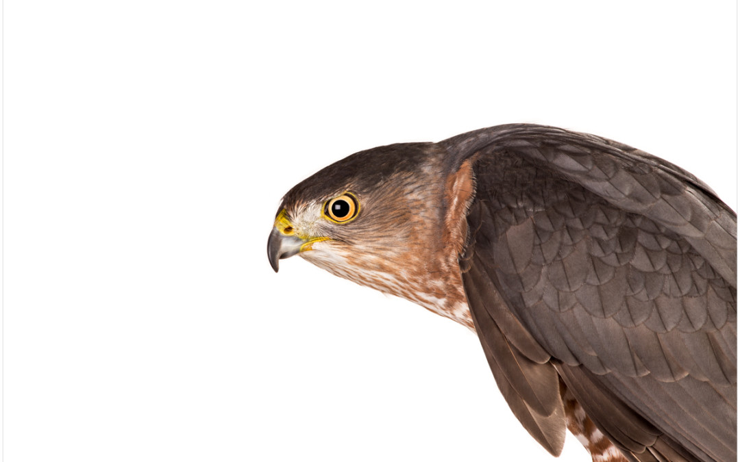 Photographing Birds of Prey In A Studio