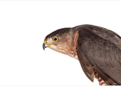 Coopers Hawk Portrait
