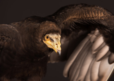 Lesser Yellow Headed Vulture Portrait