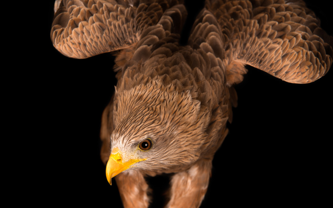 Birds Of Prey Portraits Used For Fundraising