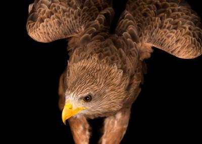 Yellow Billed Kite Portrait